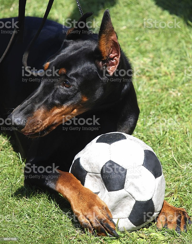 doberman dog playing with a ball royalty-free stock photo