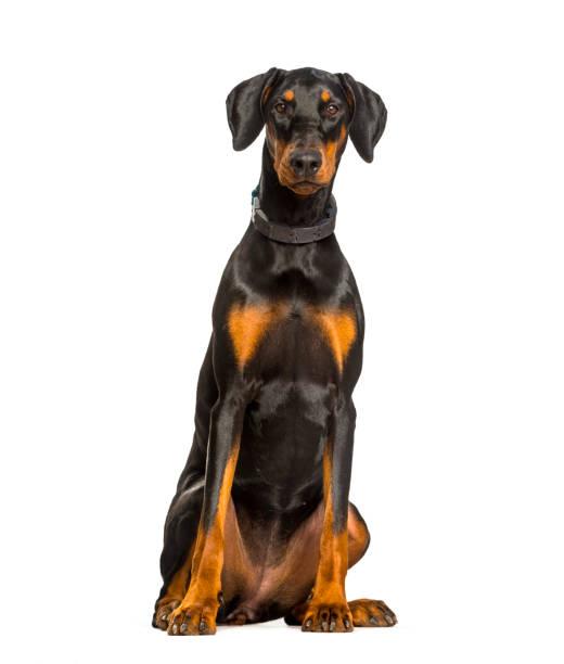 Doberman Hund sitzt vor weißem Hintergrund – Foto