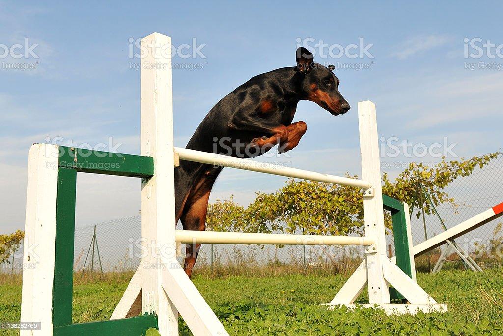 doberman in agility royalty-free stock photo