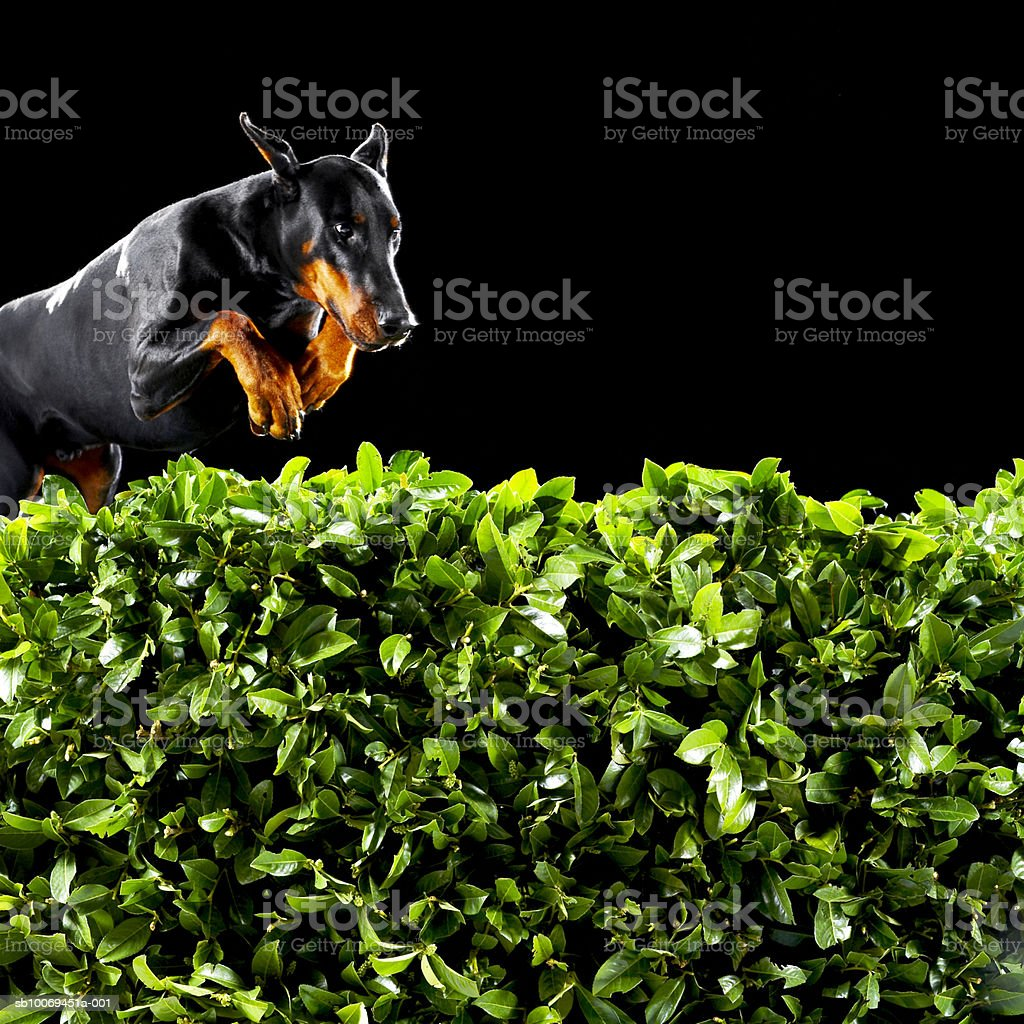 Doberman jumping over hedge royalty-free stock photo