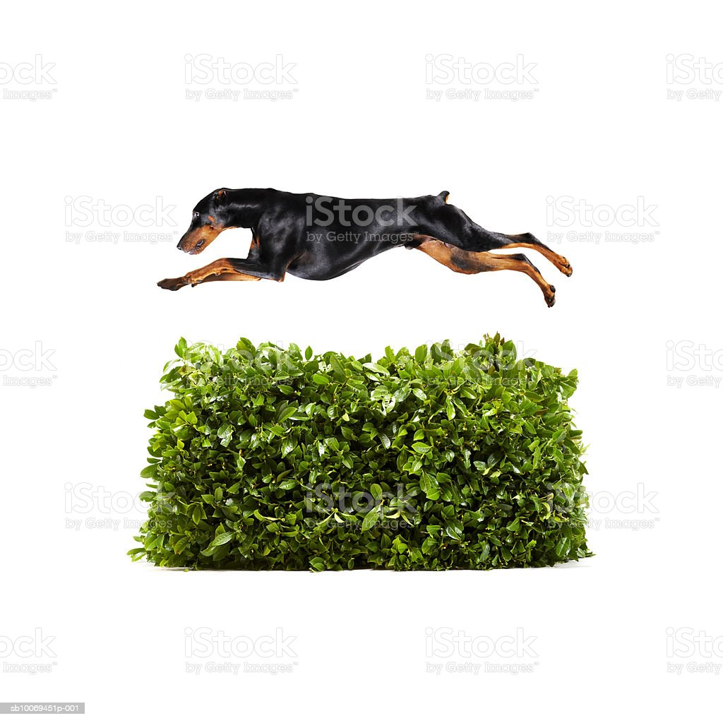 Doberman jumping over hedge, studio shot royalty-free stock photo