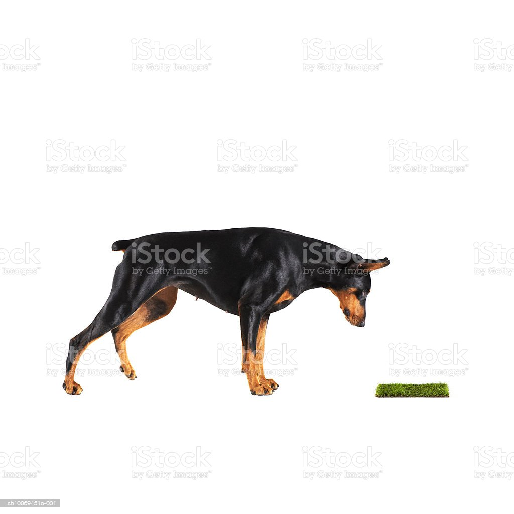 Doberman looking at patch of grass, studio shot royalty-free stock photo