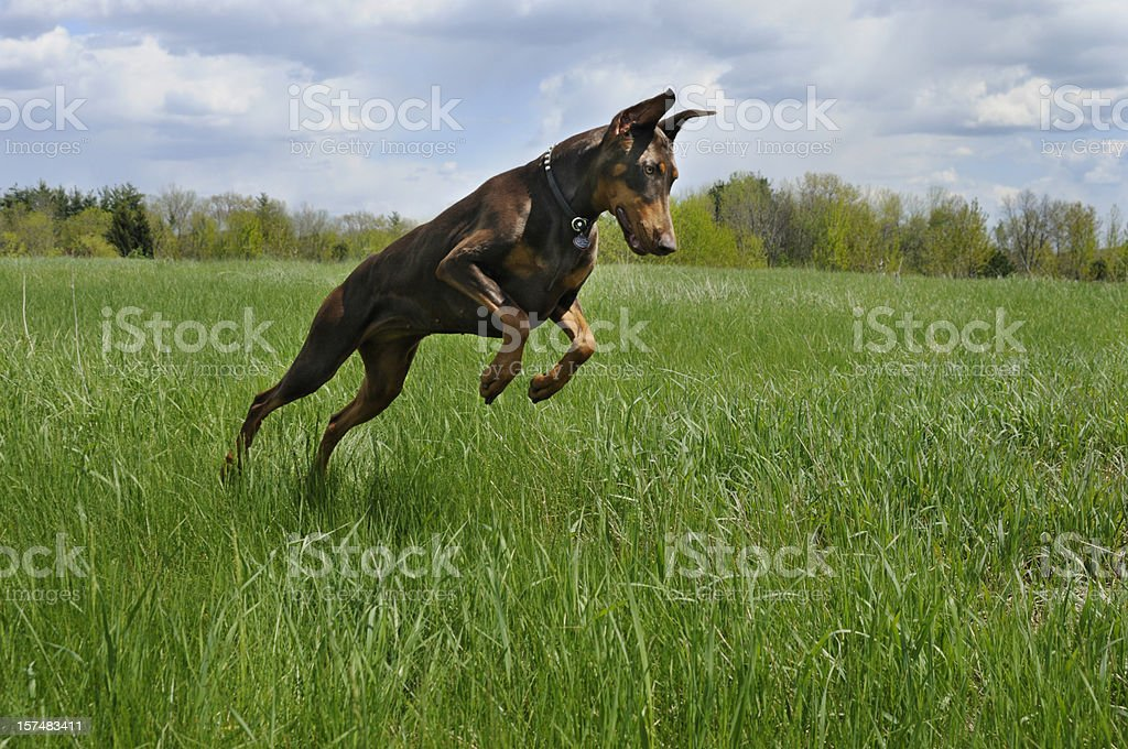 Doberman Pinscher Dog Hunting In Green Spring Field Stock Photo Download Image Now Istock