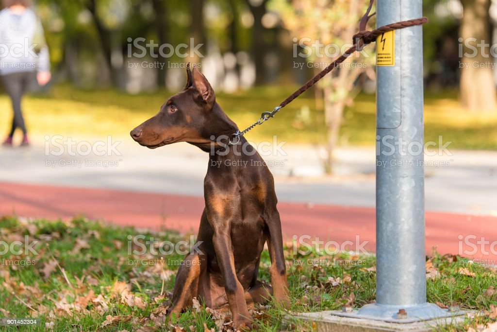 Doberman Pinscher Dog In The Park Stock Photo Download Image Now Istock