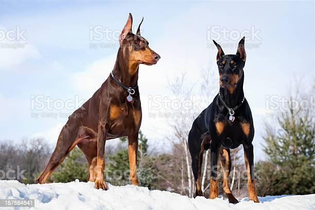 Doberman Pinscher Dogs Outdoors in Winter Snow; Strong Intelligent, Alert.