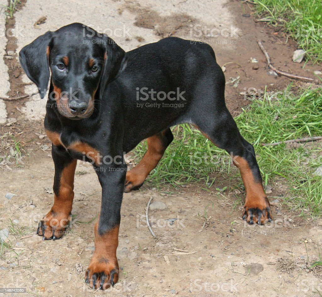Doberman Pinscher Puppy Stock Photo Download Image Now Istock