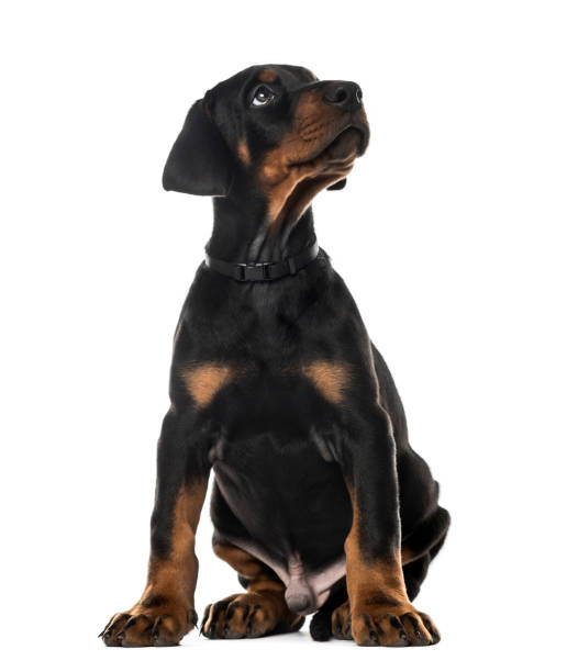 Doberman pinscher sitting and looking up 7 weeks old isolated on picture id823781132?b=1&k=6&m=823781132&s=612x612&w=0&h=q3z5gbnqpztwtxx6uyvx9ylctthecpdjarxron6kyz8=