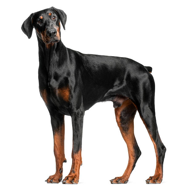 Doberman pinscher price in bangalore dating 10
