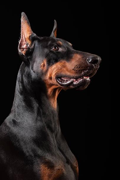 Doberman Pinscher-guard dog stock photo