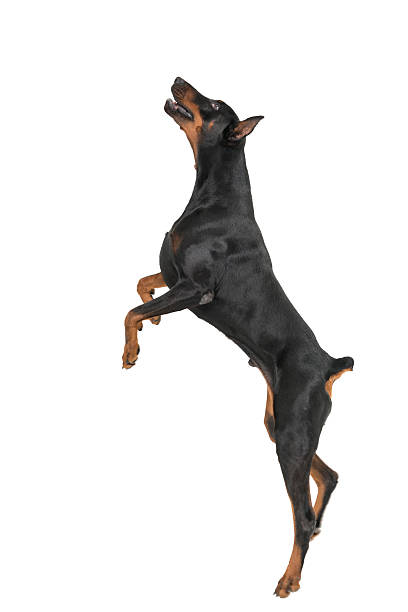 doberman pinsher jumping on white background - dog jumping stock photos and pictures