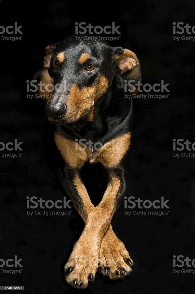 Doberman pose royalty-free stock photo