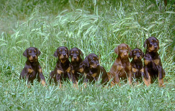 Doberman puppies dogs crouched in a meadow, portrait stock photo