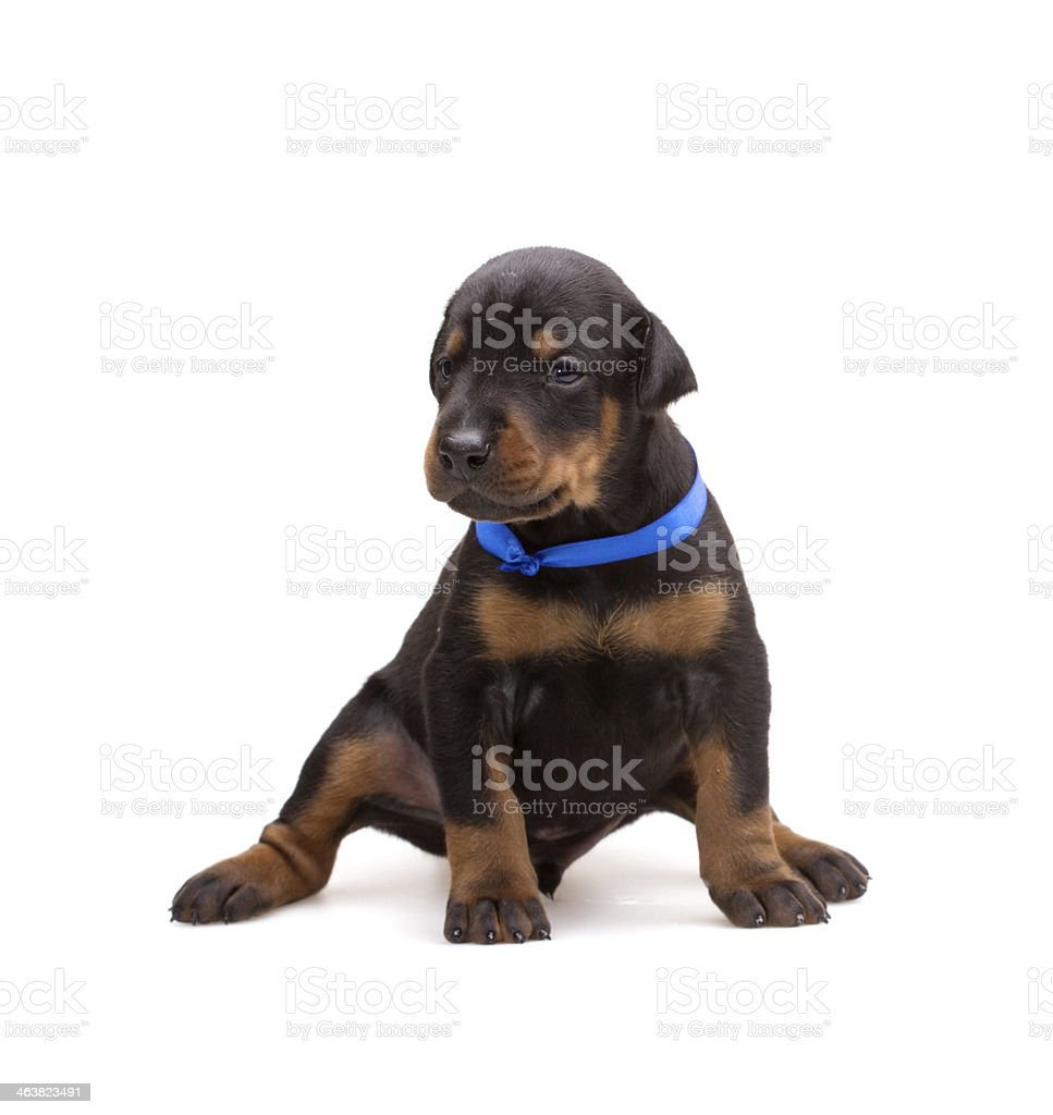 Doberman Puppy In Blue Ribbon Isolated On White Stock Photo Download Image Now Istock