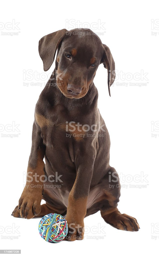 Doberman puppy isolated on white stock photo