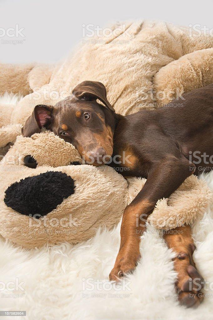 Doberman Puppy Napsack Stock Photo Download Image Now Istock