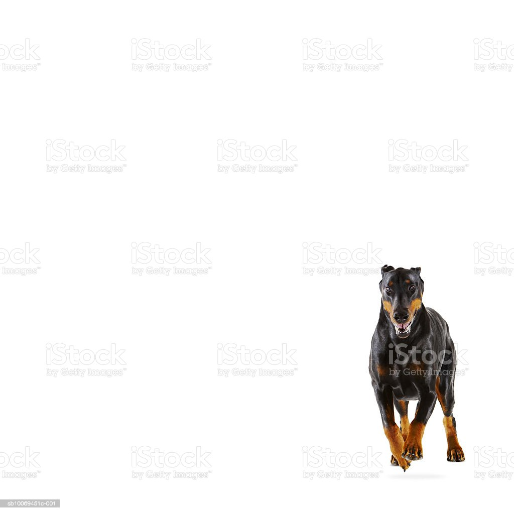 Doberman running on white background royalty-free stock photo
