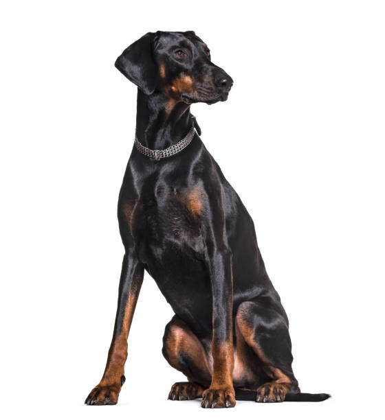 Doberman sitting in studio against white background picture id944108784?b=1&k=6&m=944108784&s=612x612&w=0&h=xrda4h9znfen04o4v5gakwxf axncibudwb8v9 ul84=