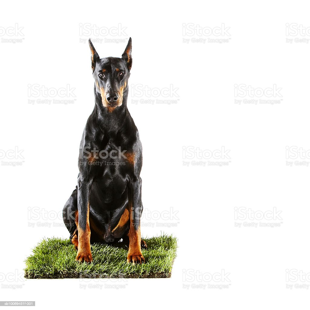 Doberman sitting on patch of grass royalty-free stock photo