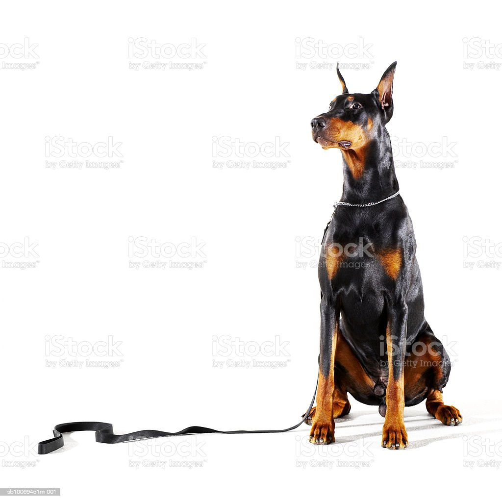 Doberman with leash on white background royalty free stockfoto