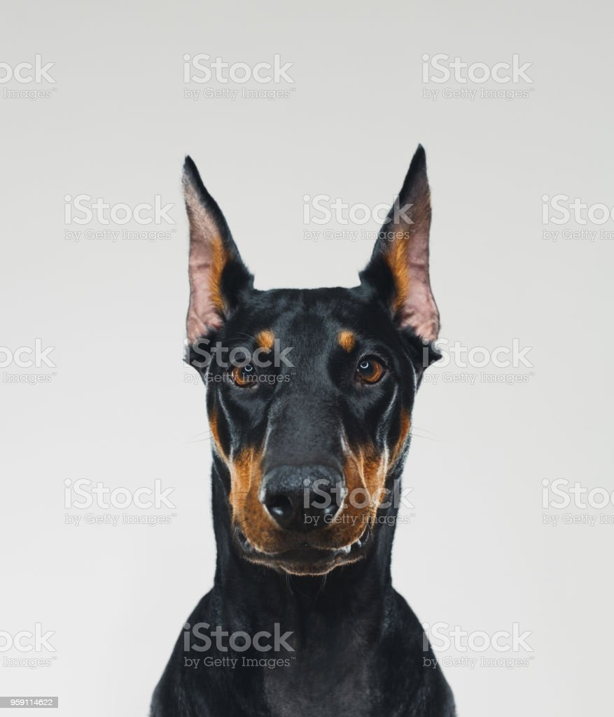 Dobermann dog portrait looking at camera stock photo