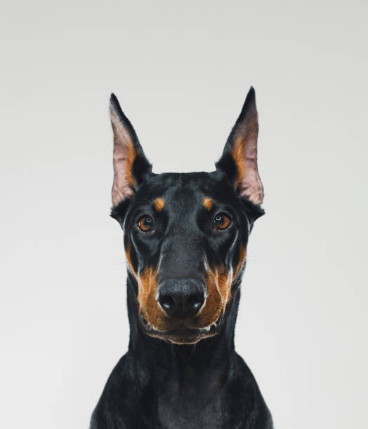 Dobermann dog portrait looking at camera stock photo