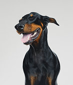 Portrait of cute dobermann dog posing with human happy expression. Vertical portrait of black dog laughing against gray background. Studio photography from a DSLR camera. Sharp focus on eyes.