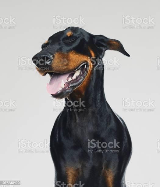 Dobermann dog portrait with human happy expression picture id957230420?b=1&k=6&m=957230420&s=612x612&h=wbbngegybth27m16il8q8eyb05ygtqehccoe2bga6ga=