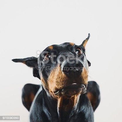 Portrait of cute dobermann dog posing with human curious expression. Square portrait of black dog looking up with obedience against gray background. Studio photography from a DSLR camera. Sharp focus on eyes.