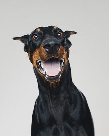 Portrait of cute dobermann dog posing with human happy expression. Vertical portrait of black dog with surprised face against gray background. Studio photography from a DSLR camera. Sharp focus on eyes.