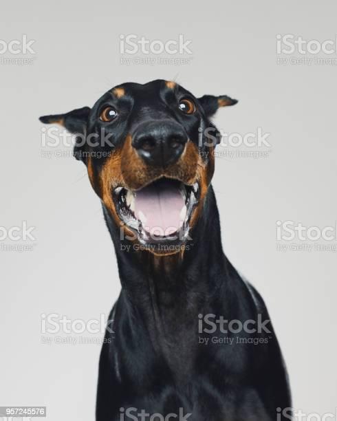 Dobermann dog portrait with human surprised expression picture id957245576?b=1&k=6&m=957245576&s=612x612&h=x73nv7bczg6pmji plxp5xuuawqam8jvqiacywfnkg0=
