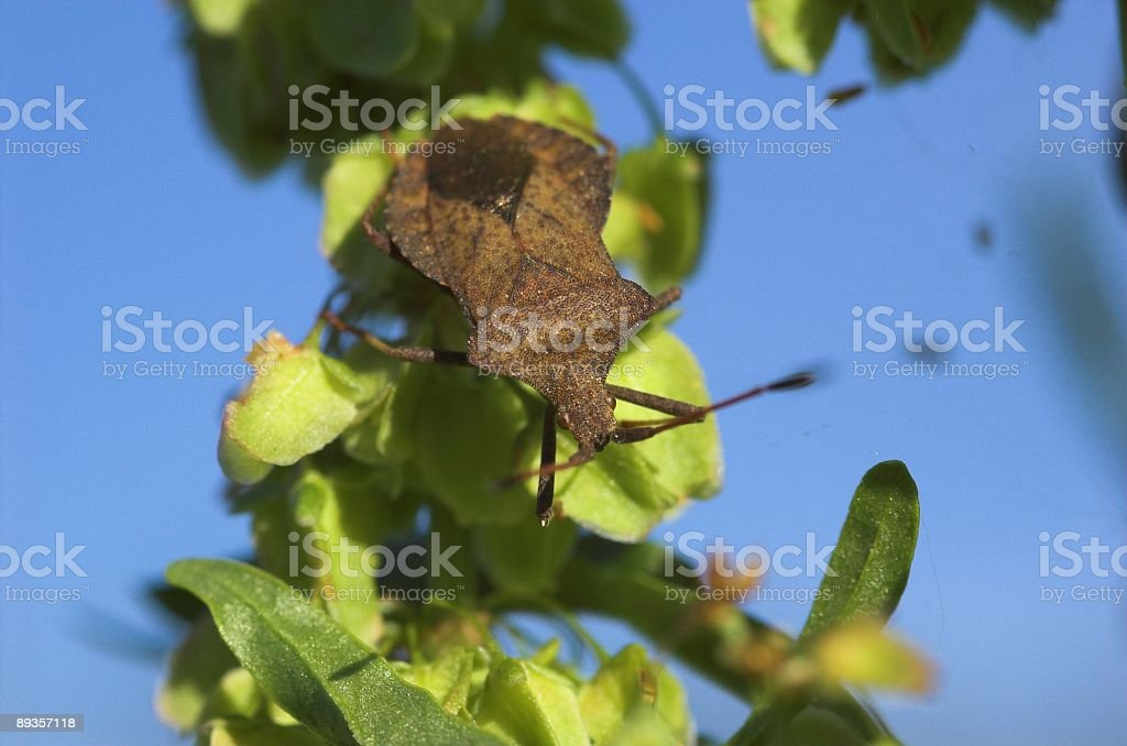 Dock Bug on a Plant royalty free stockfoto