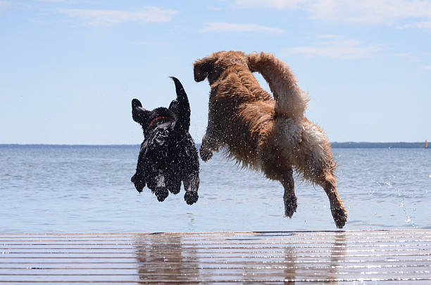 dock jumping buddies - jumping into water stock pictures, royalty-free photos & images