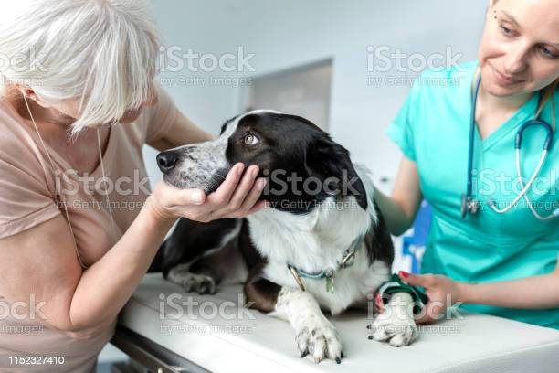 Doctor and senior owner looking at dog on bed in veterinary clinic picture id1152327410?b=1&k=6&m=1152327410&s=612x612&h=n2prg58anue6f8e127edgtaqn 1ojdgr0sx9 4bbmcu=