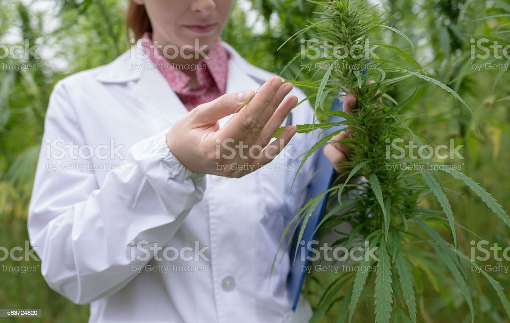 Doctor checking cannabis flowers stock photo