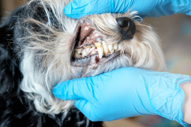 Doctor examines a dogs teeth dog tartar dental disease in a dog picture id1067734384?b=1&k=6&m=1067734384&s=612x612&w=0&h=3q7dm8dqulqjdbl8qw4yyvt83rtkg0dzrcscmuaxvf0=