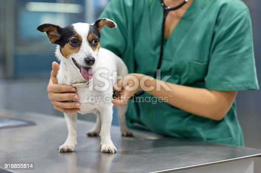 Midsection of female doctor examining dog with stethoscope. Young veterinarian is with domestic animal at clinic. She is wearing scrubs.