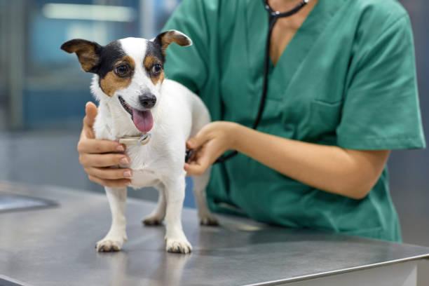perro examen médico con estetoscopio en clínica - veterinario fotografías e imágenes de stock