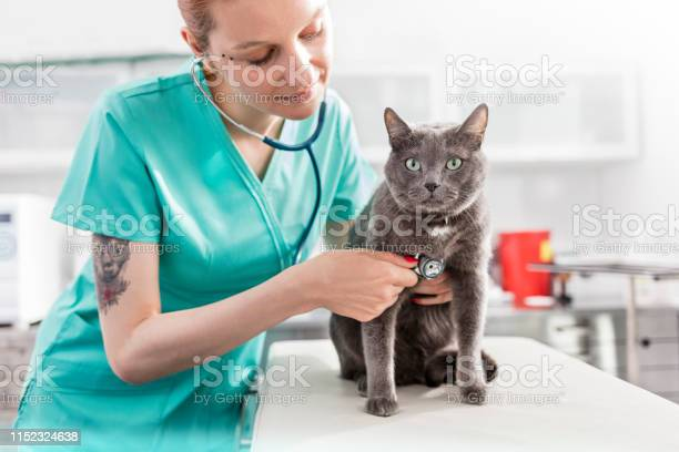 Doctor examining russian blue cat with stethoscope at veterinary picture id1152324638?b=1&k=6&m=1152324638&s=612x612&h=xn8s2oyyvclz2mr3wmqhou3sloddkiivzwm8b9gakvg=