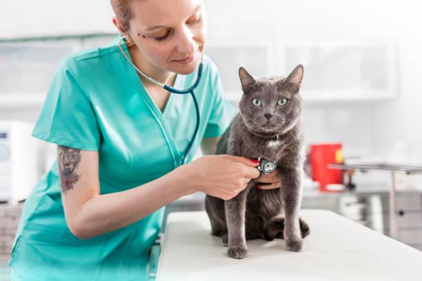 Doctor examinando gato azul ruso con estetoscopio en la clínica veterinaria - foto de stock