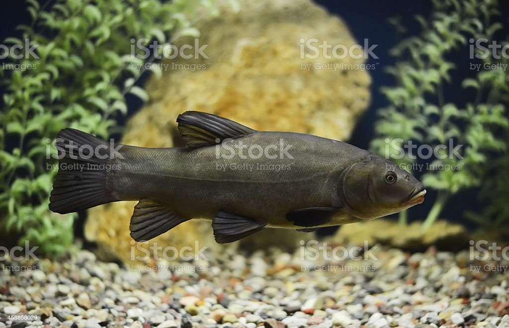 Doctor fish, the tench stock photo