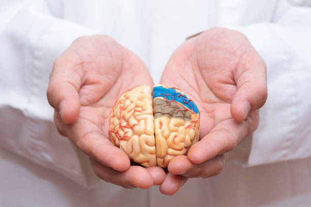 arts die houden van een model van de hersenen - dementia stockfoto's en -beelden