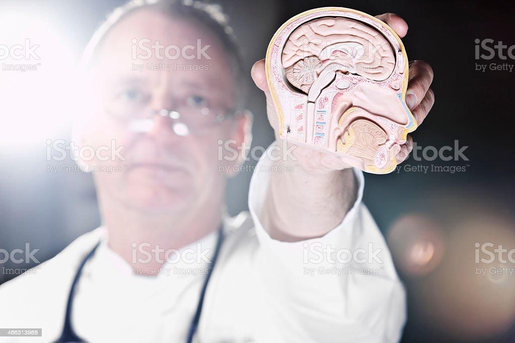 Doctor holding plastic model of human brain stock photo