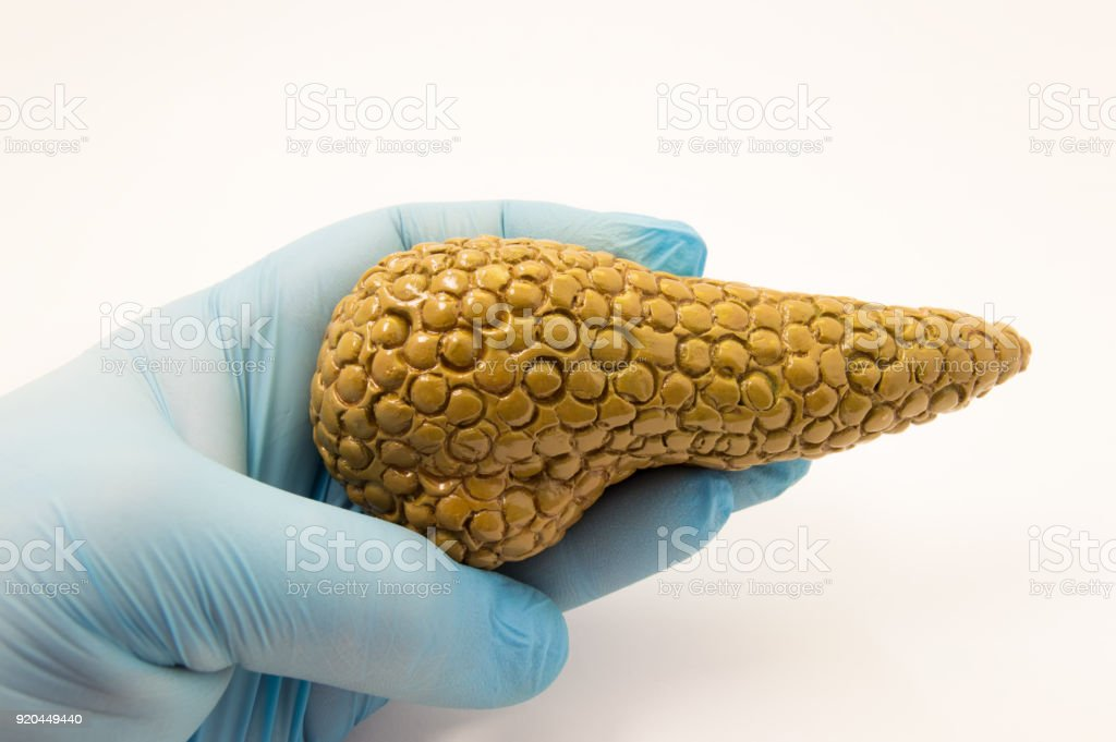 Doctor keeps in hand, dressed in glove, anatomical model of pancreas on white background. Concept image for diagnosis, treatment, surgery of the pancreas, the object of study and visualization stock photo