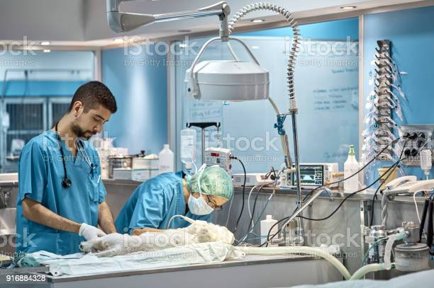 Doctor operating dog by colleague in hospital picture id916884328?b=1&k=6&m=916884328&s=612x612&h=d1lnoq1ckf7y di7wkfl9tzmm9zvaabu3to4lpeuxga=