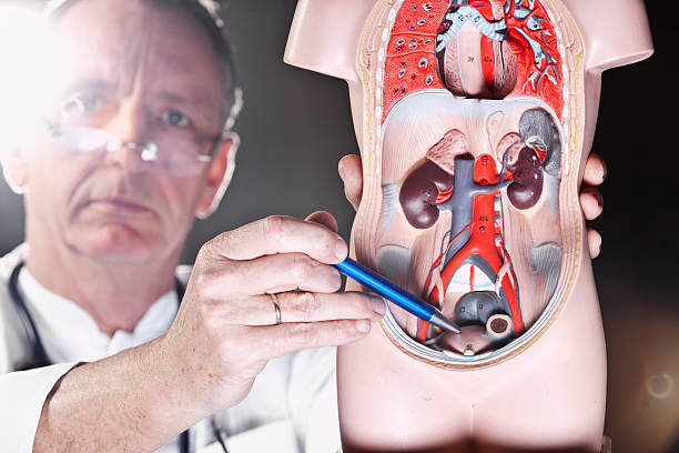 Doctor pointing at bladder A medicine,at the plastic model of a human bladder.  prostate gland stock pictures, royalty-free photos & images