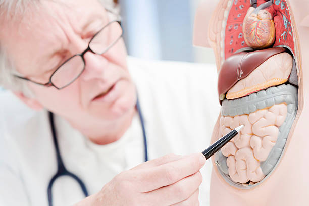 doctor pointing at gut - human intestine stock photos and pictures