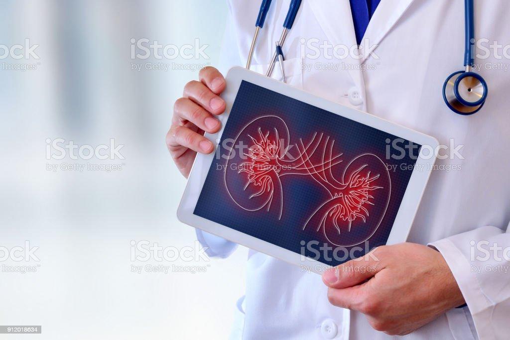 Médico que muestra un riñón en un primer plano de la tableta - foto de stock