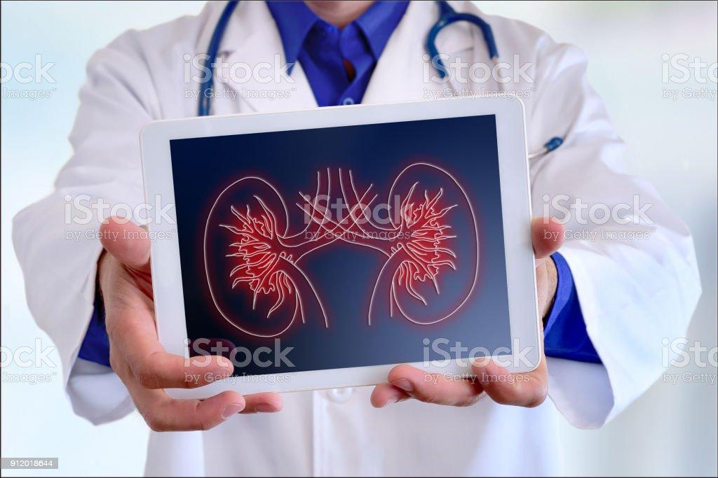 Médico que muestra una representación de riñón en un tablet en el frente - foto de stock