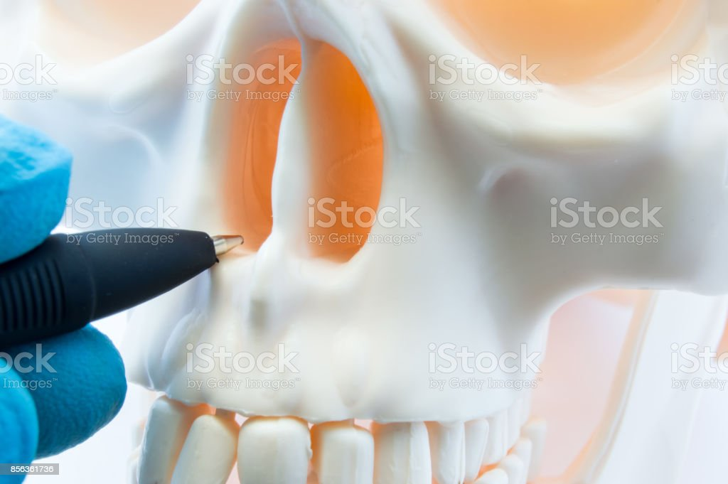 Doctor showing patient bone anatomy of skeleton of nose and nasal cavity on skull. Preparing for rhinoplasty surgery, correcting deviated nasal septum, localization of rhinitis, sinusitis in nose stock photo