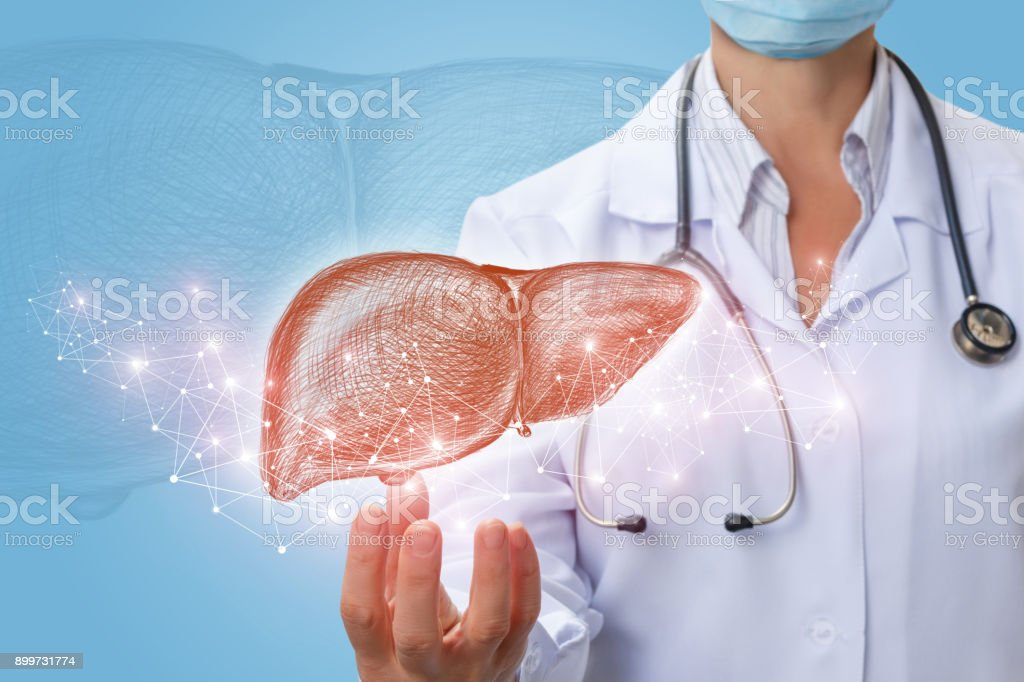 Doctor shows liver in hand . stock photo